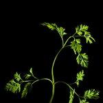 Plantui Cerfoglio
