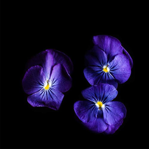 Plantui Viola True Blue