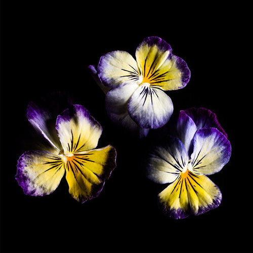 Plantui Viola Lemon Blueberry