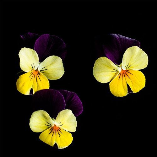 Plantui Viola Yellow jump
