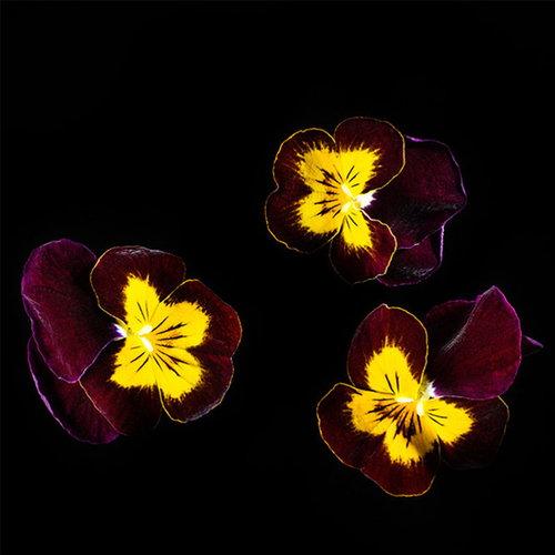 Plantui Viola Ruby & Gold