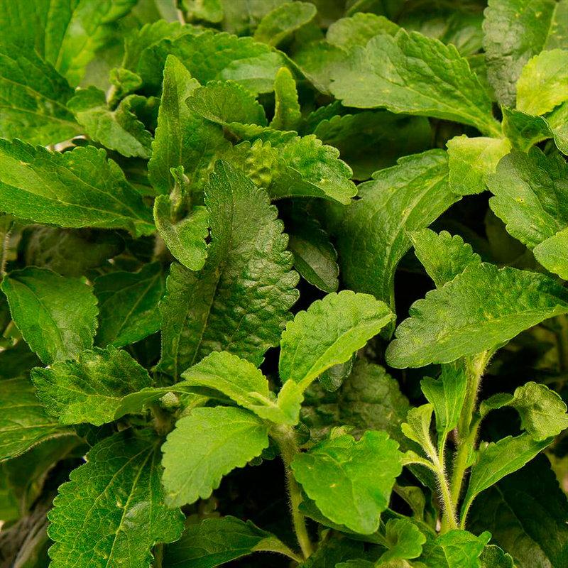 Plantui Stevia