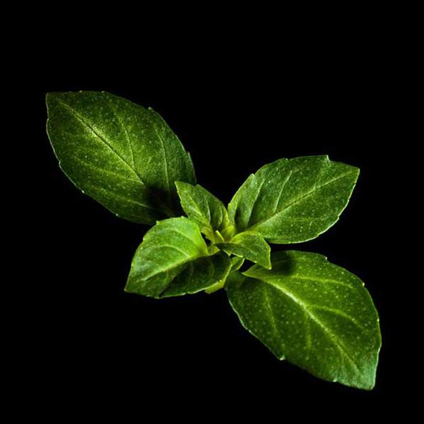 Plantui Basilico Minette