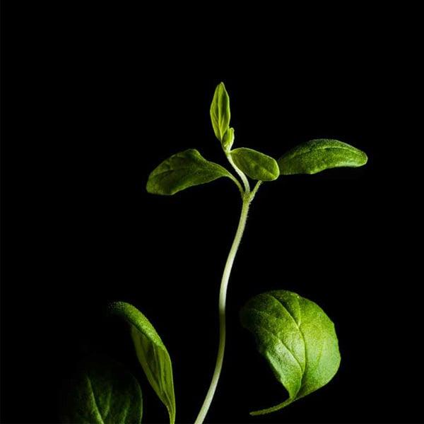 Plantui Marjoram