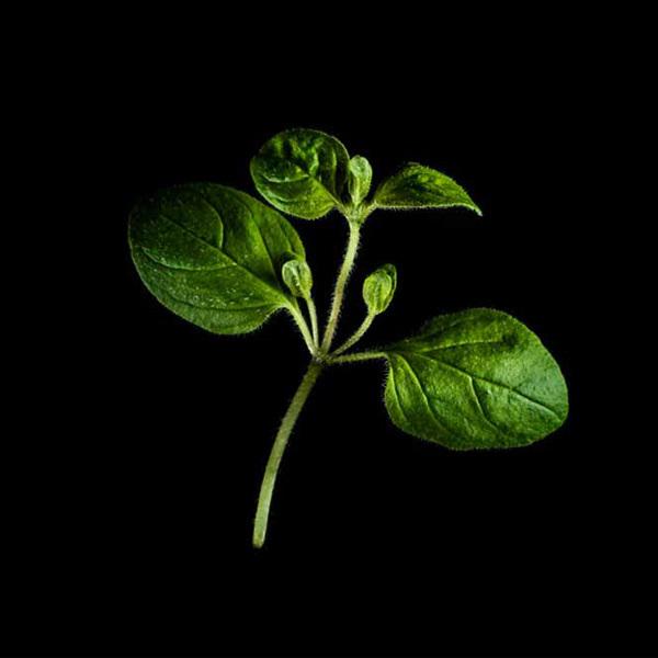 Plantui Origano
