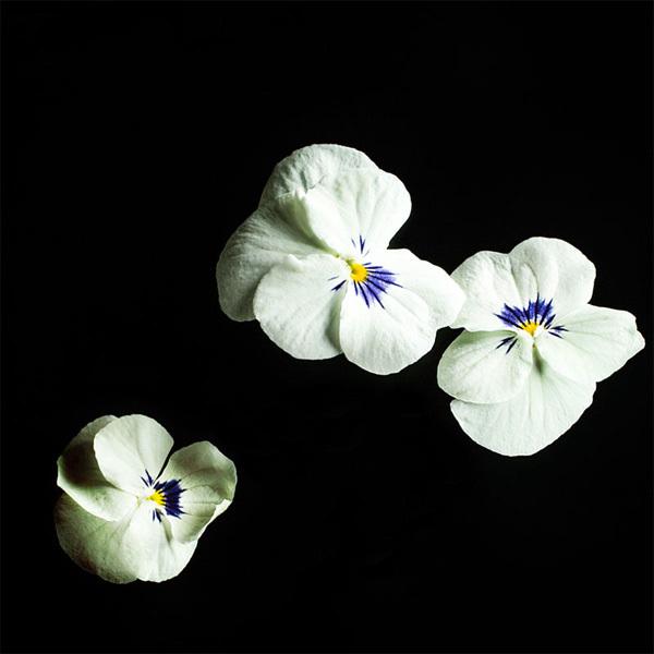 Plantui Viola White